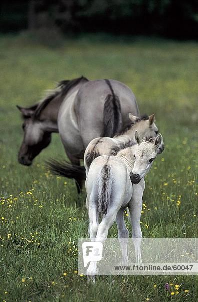 Przewalski's horse (Equus caballus przewalskii) standing with its two foals in field