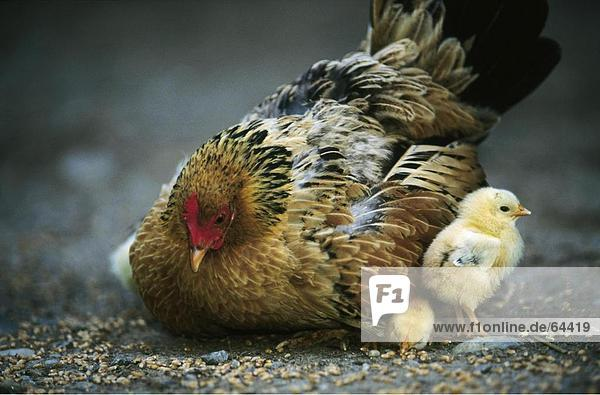 Close-up of hen with chicken