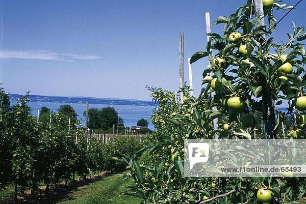 Apple Plantage in einem Obstgarten  Schweiz Apple Plantage in einem Obstgarten, Schweiz