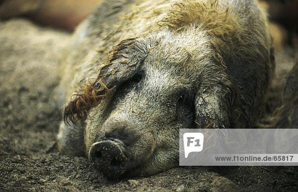 Close-up of wollschwein resting in field