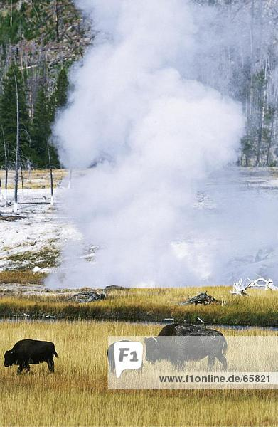 Three American Bison (Bison bison) grazing in filed  Yellowstone National Park  Wyoming  USA