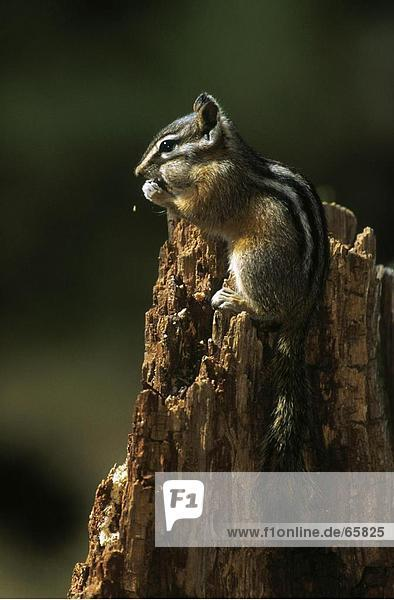 Close-up of squirrel on tree stump  Yellowstone National Park  Wyoming  USA
