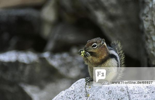 Close-up of squirrel sitting on stone  Yellowstone National Park  Wyoming  USA