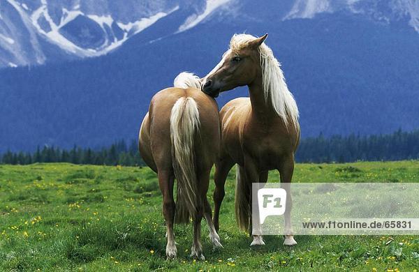Two Haflinger horses in field