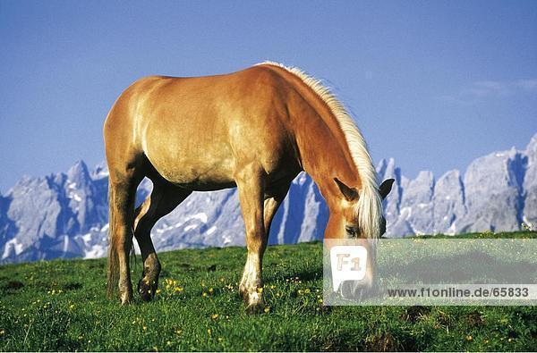 Haflinger horse grazing grass in field