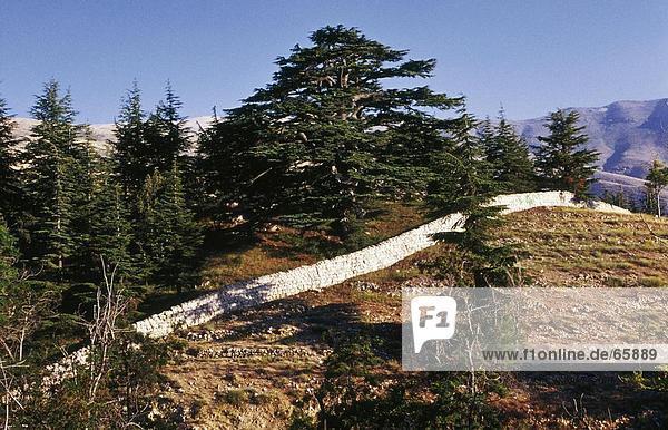 Bäume auf Landschaft  Bscharre  North Gouvernement  Libanon