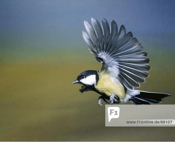 Nahaufnahme der Kohlmeise (Parus major) Vogels ist im Flug