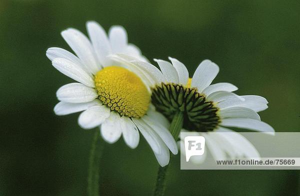 10641109  Blume  Blumen  blühen  gedeihen  blüht  blüht  Chrysanthemum Leucanthemum  Nahaufnahme  Detail  Daisy  Spring
