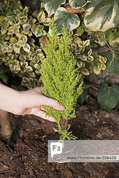 Person  die einen kleinen Baum pflanzt