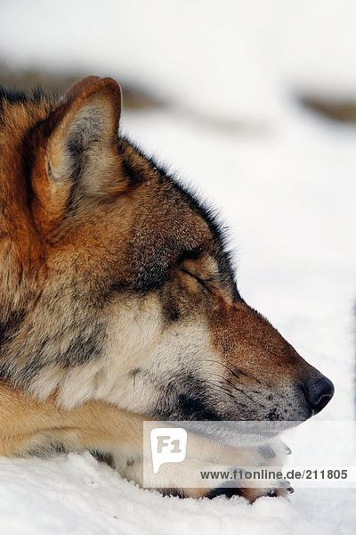 Close-up of Grey wolf (Canis lupus) resting in snow  Merzig  Germany