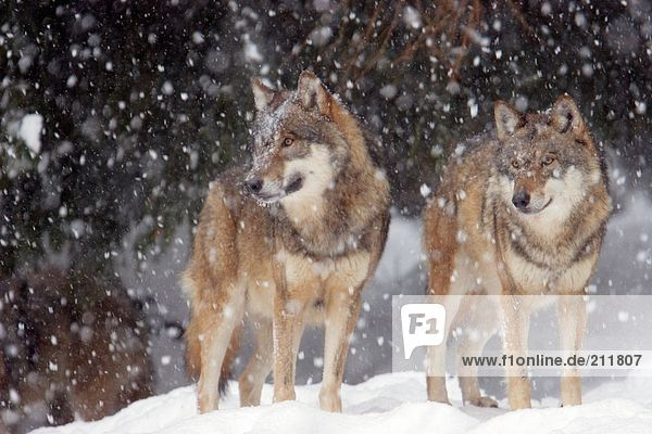 Two Grey wolves (Canis lupus) standing in snow  Merzig  Germany