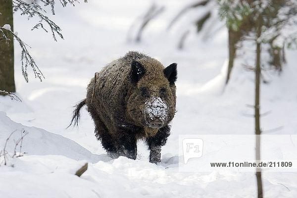 Wild Boar (Sus scrofa) standing in snow