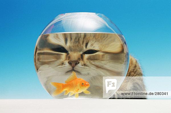 Katze beobachtet einen Goldfisch