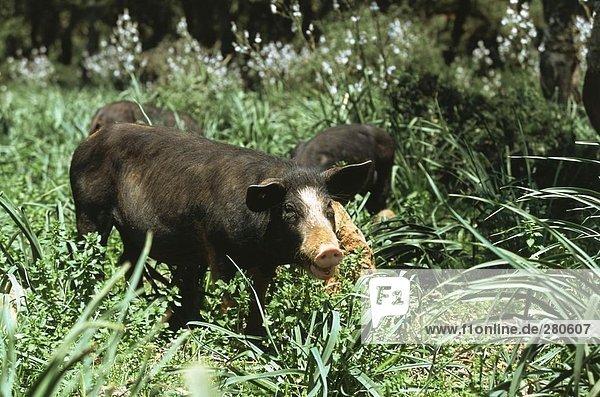 Pigs foraging in field  Giara Di Gesturi  Sardinia  Italy