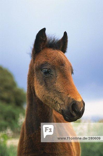 Close-up of horse's face  Giara Di Gesturi  Sardinia  Italy