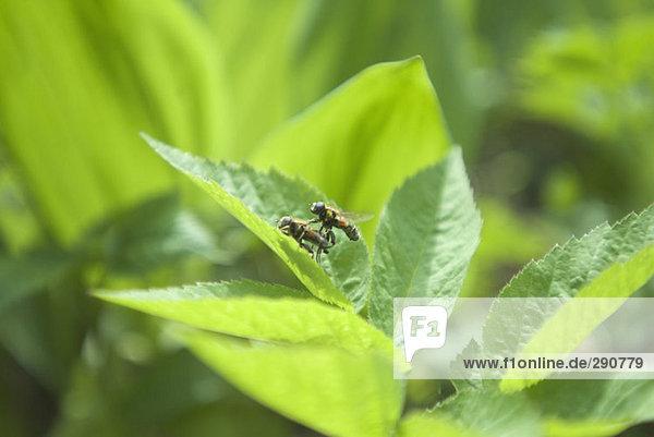 zwei Fliegen Paarung
