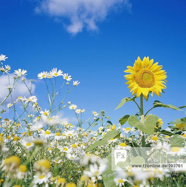 Eine Sonnenblume in einem Feld.
