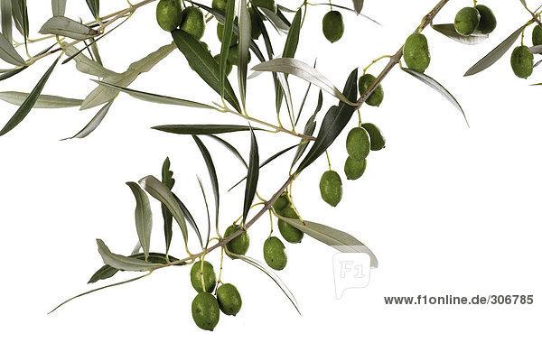 Frische Oliven auf Zweig  Nahaufnahme