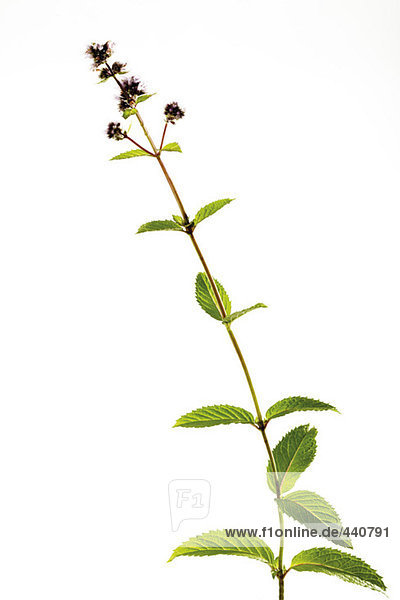 Blooming peppermint