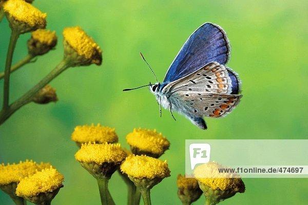 Nahaufnahme der Hauhechel-Bläuling (Polyommatus Icarus) schwebend über Blume Schmetterling