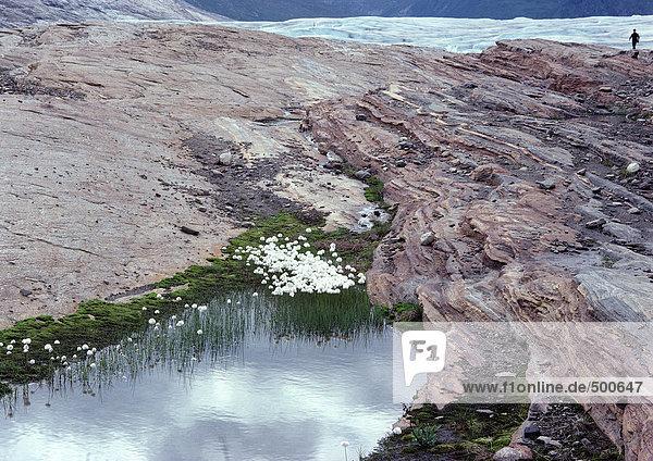 Norwegen  weiße Blüten auf dem Berggipfel in der Nähe des Gletschers