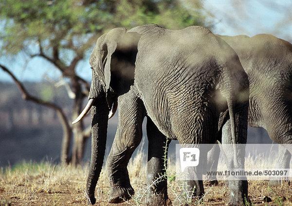 Afrika  Botswana  Elefanten in der Savanne