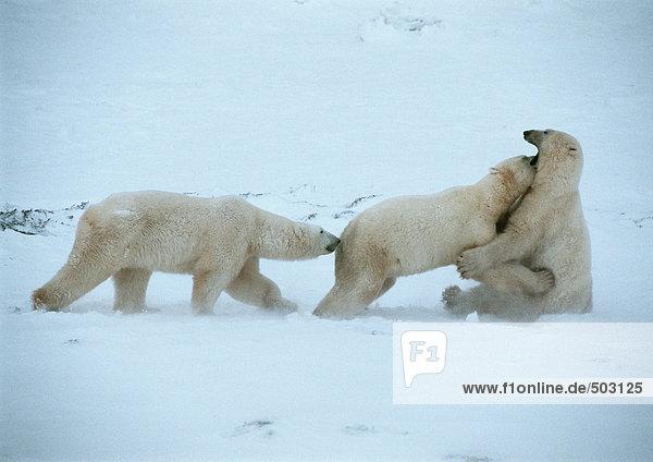 Kanada  drei Eisbären im Schnee