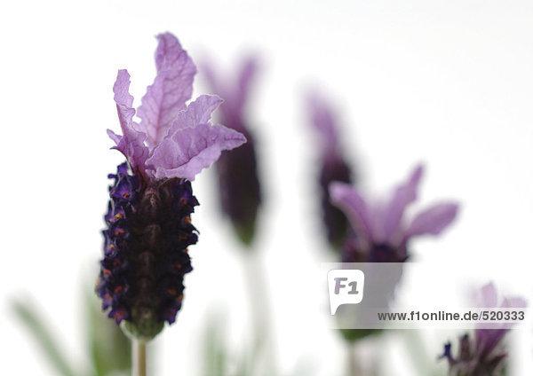 Lavendelblüten  Nahaufnahme