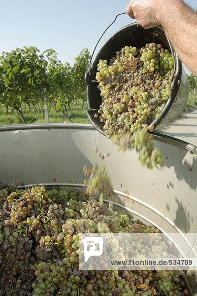 Mann beim Ausgießen der geernteten Weintrauben  Nahaufnahme Mann beim Ausgießen der geernteten Weintrauben, Nahaufnahme