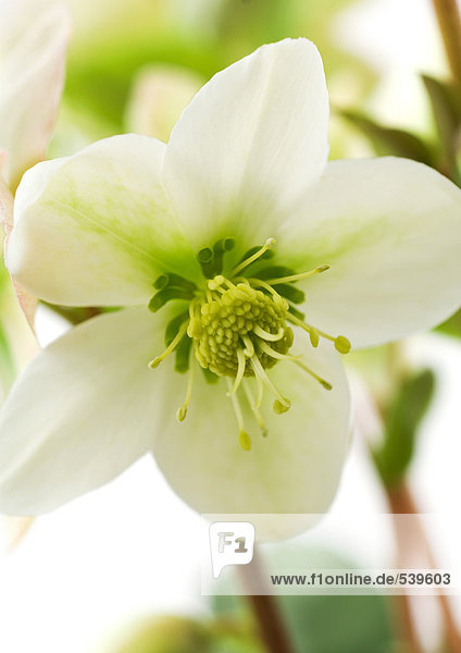 White hellebore flower  close-up