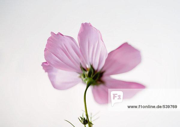 Kosmos Blume