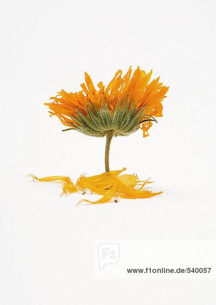 Marigold-Blumen und Blüten