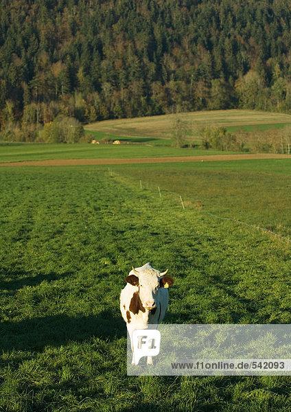 Im Feld stehenden Kuh