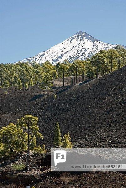 Bäume mit Berg im Hintergrund  Pico De Teide  El Teide Nationalpark  Teneriffa  Kanaren  Spanien