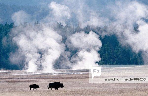 Bison (Bison Bison) und Geysiren. Yellowstone NP. Wyoming. USA