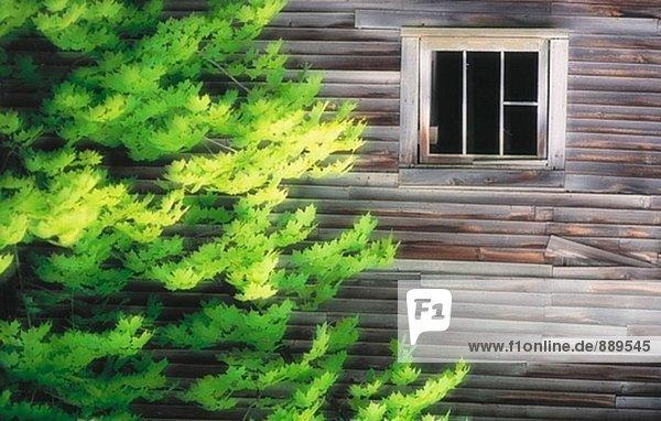 Ahornblatt Vereinigte Staaten von Amerika USA Fenster Vermont
