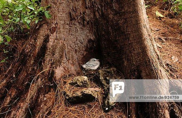 White-tailed Tropic Bird (Phaeton lepturus). Cousin Island. Seychelles