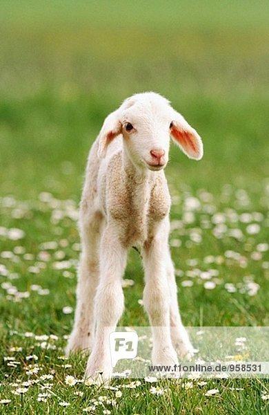 Junger Schafe Junger Schafe