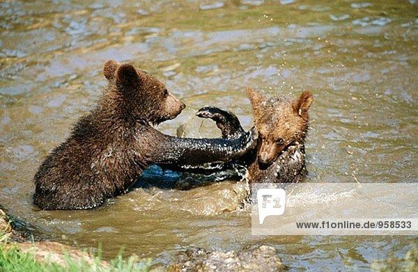 Young braun Bären (Ursus Arctos) spielen