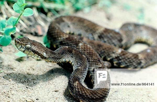 Fer-de-Lance (Bothrops columbianus)