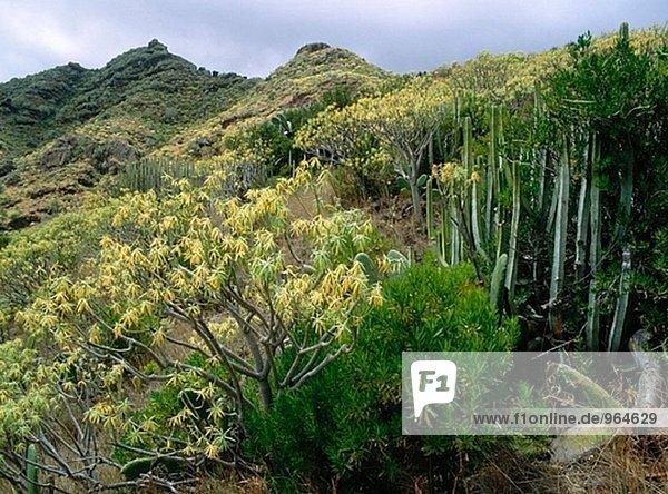 Cardones (Euphorbia Canariensis) y Tabaibas (Euphorbia Balsamifera). Anaga reichen. Insel Teneriffa. Kanarische Inseln  Spanien