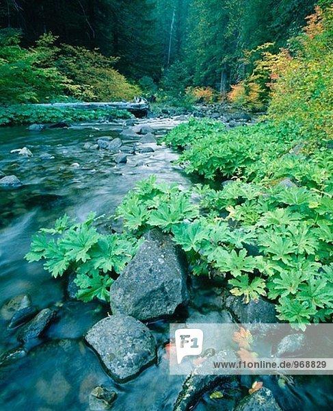 Vine Maple (Hacer Circinatum) und Douglasie (Pseudotsuga Menziesii). North Santiam River. Willamette National Forest. Oregon. USA