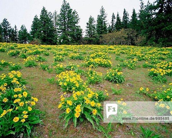 Arrowleaf Balsamroot (Balsamorhiza Sagittata)  Hood River Valley. Hood River County. Oregon  USA