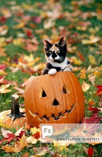Katze auf Halloween Kürbis