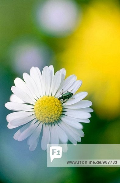 Daisy (Bellis Perennis). Deutschland
