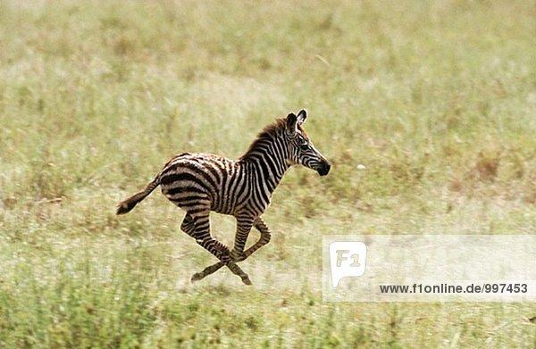 Burchell´s Zebra (Equus Burchelli) Migration. Serengeti Nationalpark  Tansania Burchell´s Zebra (Equus Burchelli) Migration. Serengeti Nationalpark, Tansania