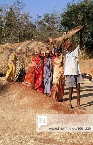 Dreschen Fingerhirse Bauern ernten. Kolar Bezirk,  Karnataka. Indien.