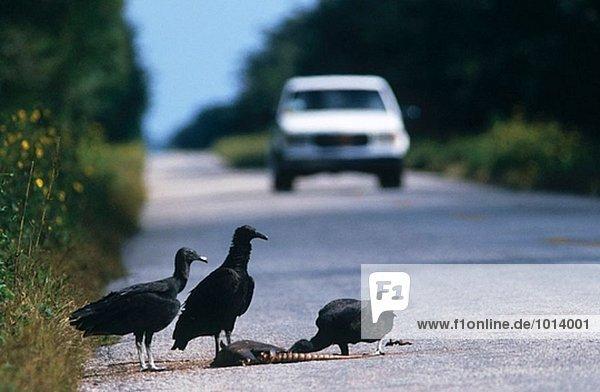 Rabengeier (Coragyps Atratus) essen Roadkill Gürteltier. Yucatan. Mexiko