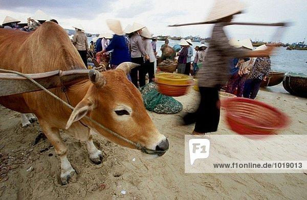 Der Fang von die Übernachtung Fischerboote wird auf den Markt von Ochsenkarren  Boote  Motorräder und Schulter Polen transportiert. MUI ne Binh Thuan Provinz. Vietnam.