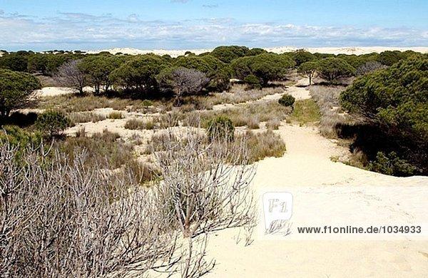 ´Dunas Móviles´ (Wanderdünen) und ´corrales´ (Gruppen von Pinien umgeben von Dünen). Nationalpark von Doñana. Huelva Provinz. Spanien